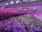 Coltivazione Cannabis Terapeutica Cbd